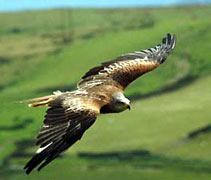 parahawking with red kite